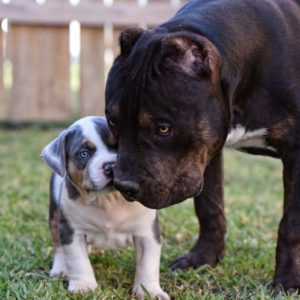 THE INCREDIBULLZ - XL AMERICAN BULLY BREEDERS